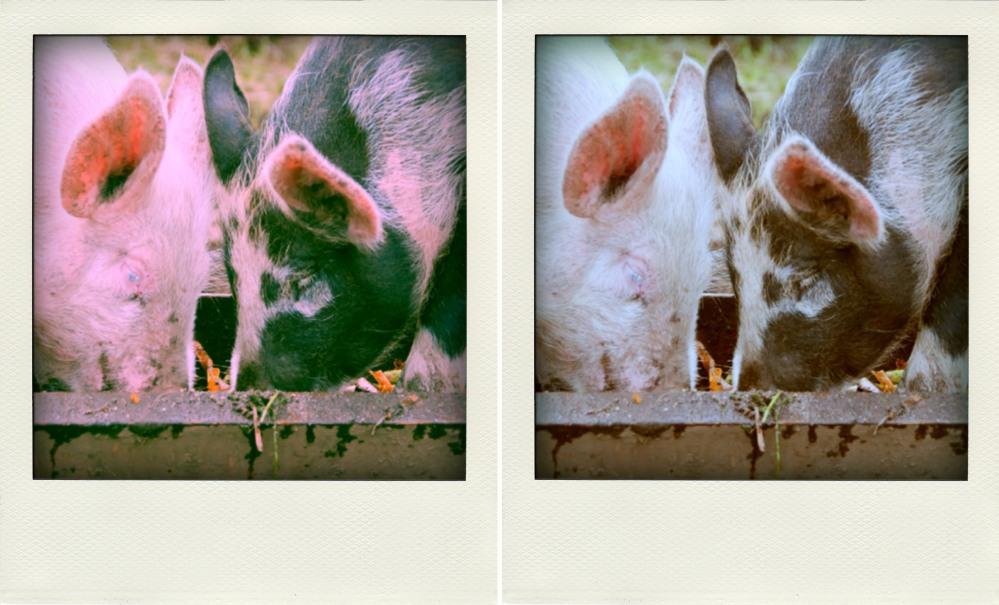 Pig3compare