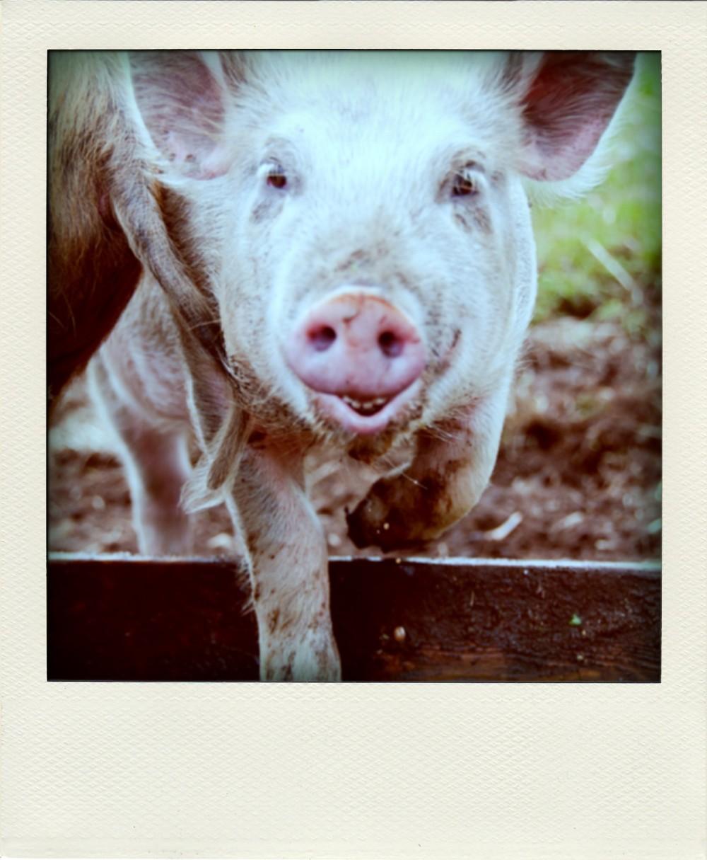 PigPola2