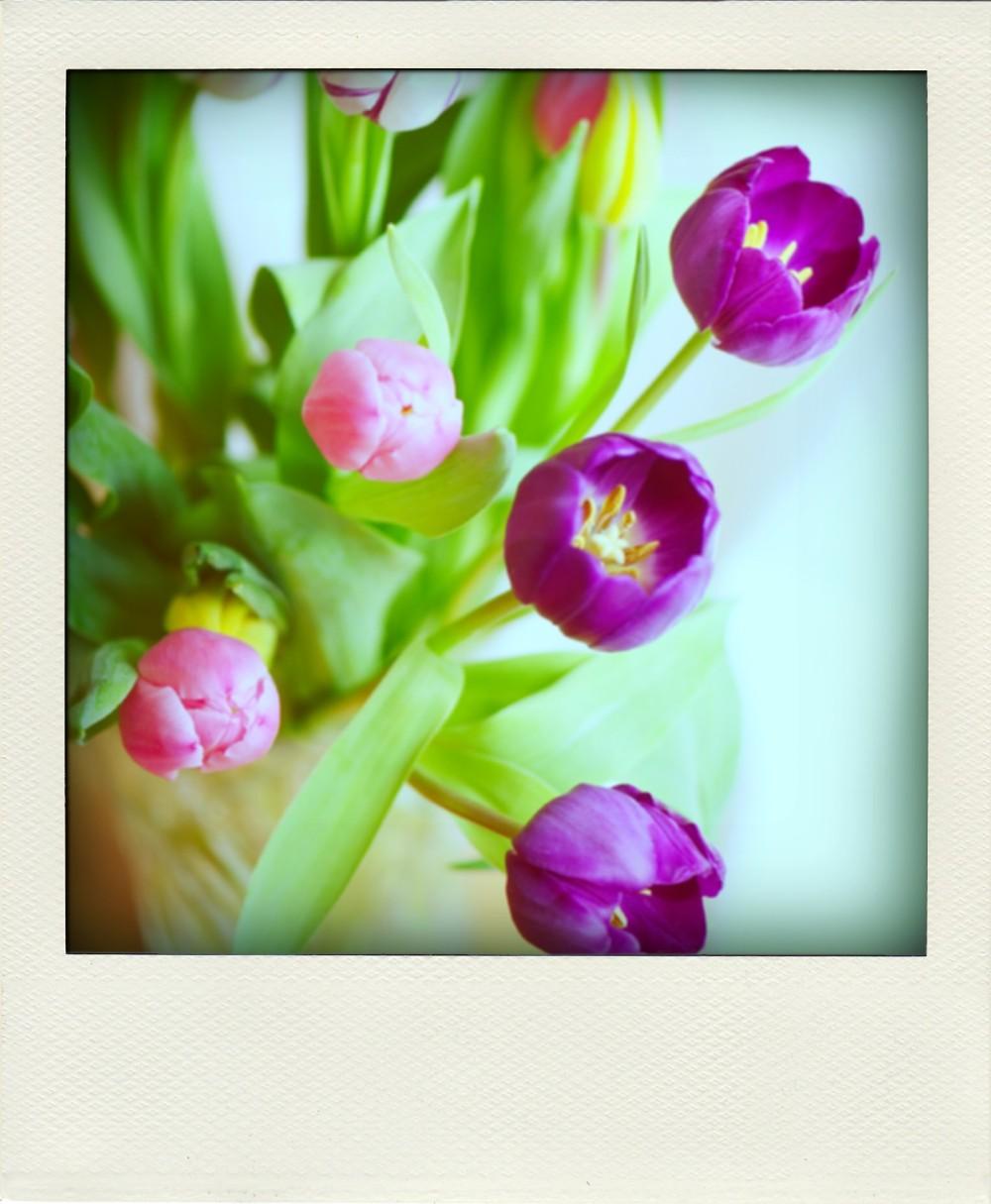 Tulips1-pola
