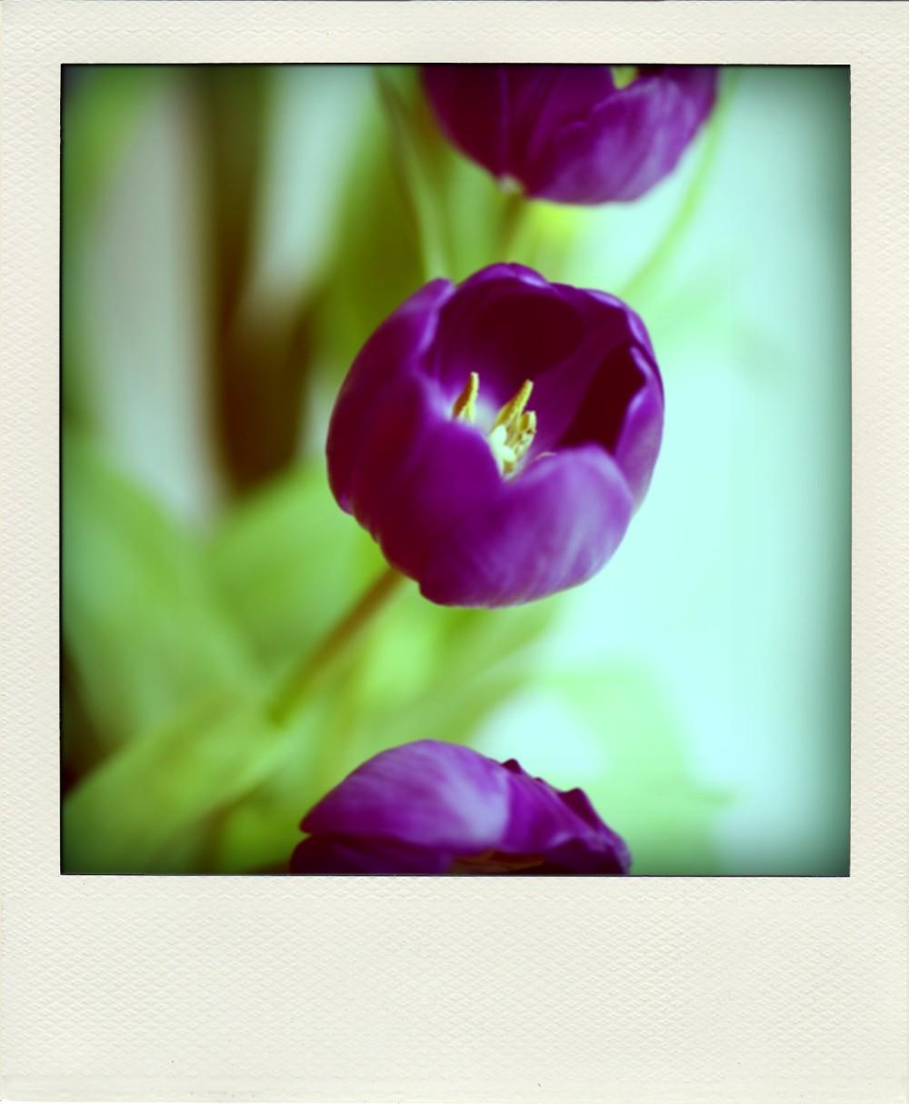 Tulips2-pola