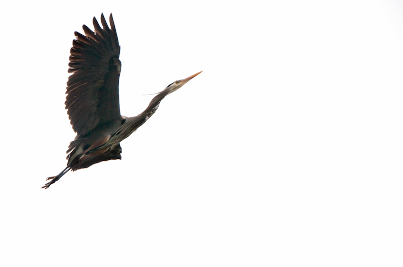 Herons-8