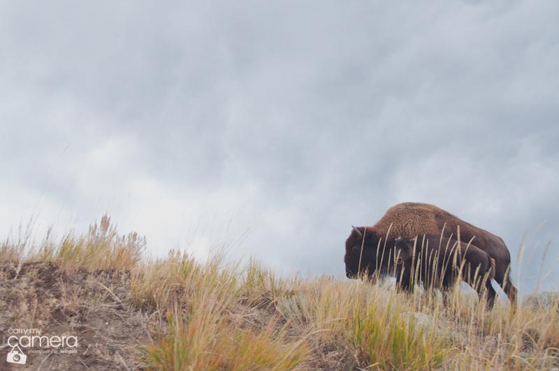 yellowstone-8